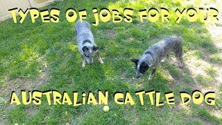 ~ Types Of Jobs For Your Australian Cattle Dog ~ Jobs For Your Blue Heeler ~