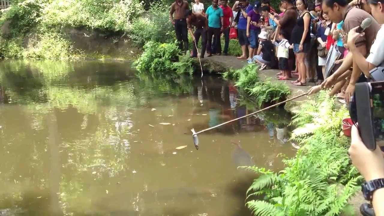 Freshwater fish kerala - World Largest Freshwater Skip Fish Arapaima Feeding Time In Singapore Zoo Youtube