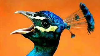 صوت الطاووس💥 Peacock  nice voice