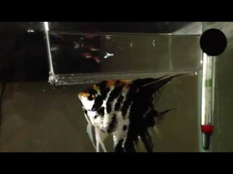 My angel fish is pregnant youtube for What kind of fish can you eat while pregnant