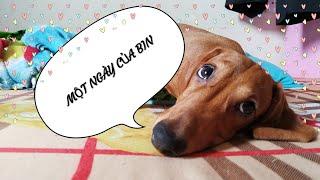 Một ngày của CÔ CHÓ LẠP XƯỞNG Bİn Ngáo và Mon   A day with my DACHSHUND and POODLE Puppies   Yêu Bin