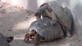 Tortoise Sex Caribbean St. Maarten Zoo
