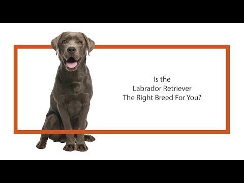 everything-puppies---labrador-retriever-breed-information-(2019)