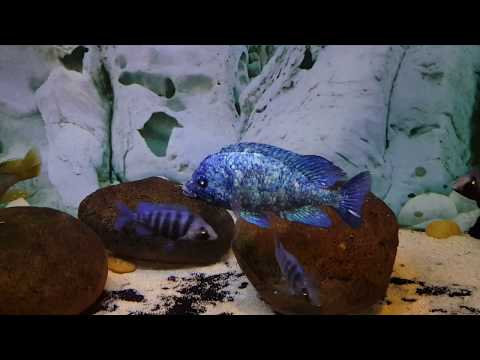 Placidochromis Phenochilus Tanzania Breeder Male