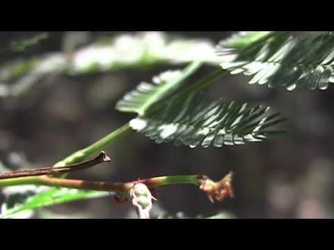 Bull Horn Acacia Ants Youtube