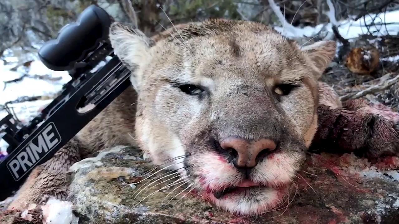 Muley Freak Tracks A 2017 Utah Mountain Lion Hunt Youtube