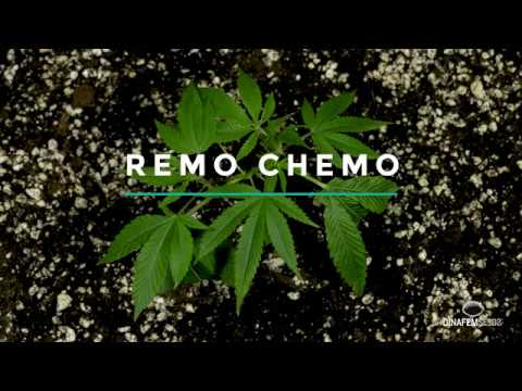 New Remo Chemo Feminized High THC Strain By Dinafem Seeds