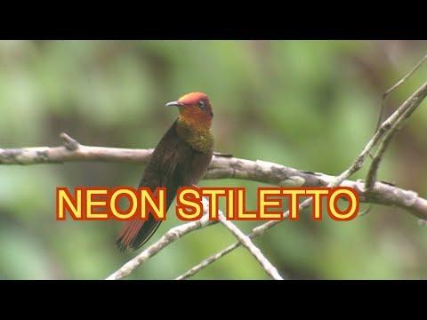 Ruby topaz Hummingbird: NARRATED