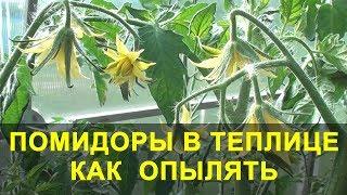 Помидоры в Теплице как Опылять и что Делать если нет Завязи.