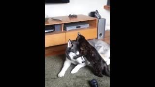 Cat Tries To Climb Inside Siberian Husky Ears!
