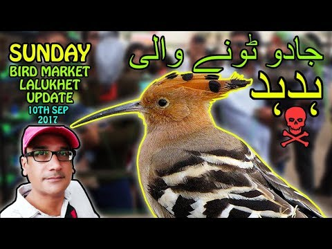 Bird Market Karachi Lalukhet | Talking Parrots | Black Magic Wood Packer | Video in Urdu/Hindi