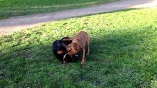 Bruce The Ridgeback X Staffy Vs A Rottweiler