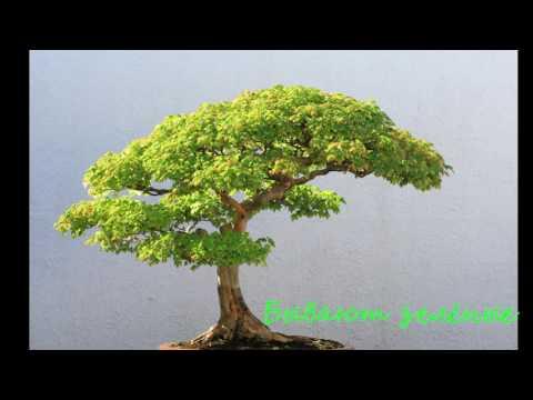 Бонсай — японское дерево. Китайские семена