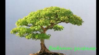Бонсай — японское дерево. Китайские семена(, 2016-05-23T18:47:05.000Z)