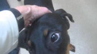 Meet Luna A Doberman Pinscher Currently Available For Adoption At Petango.com! 12/10/2014 2:50:47 Pm