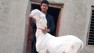 Download 554 Sher Dil Goat Farming Rajan Puri Bakriyaan