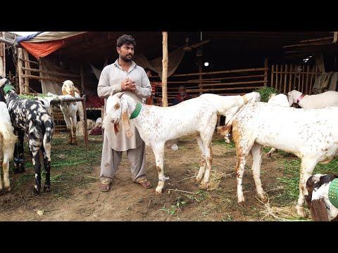 Download - RajanPuri Goats video, qa ytb lv