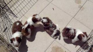 Shih Tzu Puppies For Sale In Ga Fl Al Tn Nc Sc Shihtzuga.weebly.com