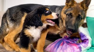 German Shepherd and Bernese Mountain Dog Puppies Meets and Plays for the First Time!