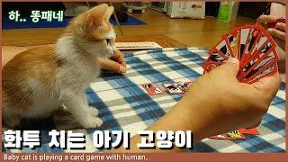 여기, 2개월짜리 아기고양이가 고스톱치는데요? 경찰아저씨! I Baby kitten is playing a card game with humans.