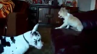 Big Dog Vs Brave Little Dog