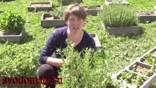 видео Семена эстрагона (тархуна) для посадки - купить недорого в Одессе, Киеве, Украине в интернет-магазине Agro-Market