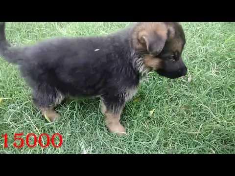 German Shepherd Puppy for sale - all about German Shepherd dog - DOGGYZ WORLD