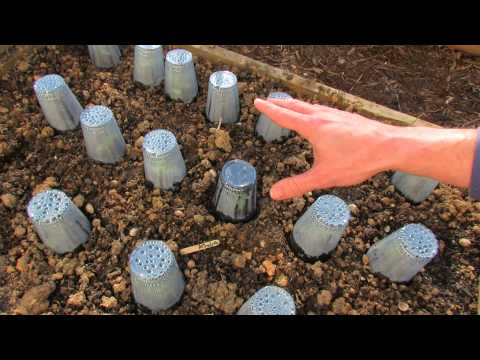 Using Plastic Cups For Frost Protection And Quicker Growth