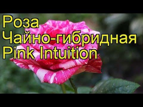 Роза чайно-гибридная Пинк Интуишн. Краткий обзор, описание характеристик Pink Intuition