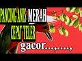 Punglo Merah Gacor Teler Punglor Anis Merah Pak Kumis  Mp3 - Mp4 Download