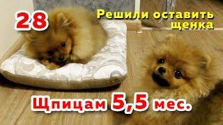🐾 Щенкам Шпица 5,5 месяцев