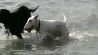 Bull Terrier First Swim
