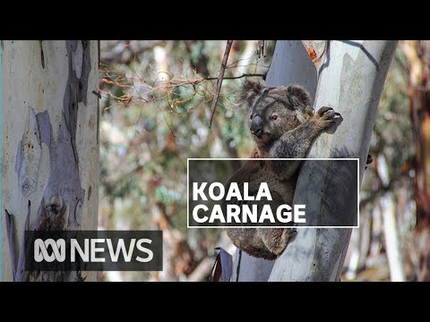Fears entire populations of koalas have been wiped out amid NSW bushfires | ABC News