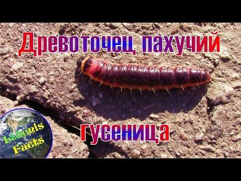 Древоточец пахучий - гусеница (Cossus Cossus - Caterpillar)