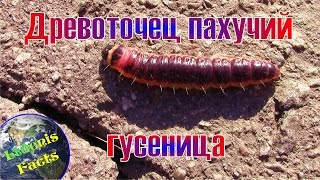 Древоточец пахучий - гусеница (Cossus cossus - caterpillar)(Древоточец пахучий - гусеница (Cossus cossus - caterpillar). Древоточец пахучий, или древоточец ивовый, или крушень-древ..., 2016-10-02T17:11:45.000Z)