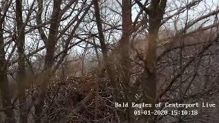 Bald Eagles of Centerport live stream on Youtube.com