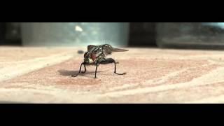 Közönséges húslégy (Sarcophaga carnaria )  HD 1080i