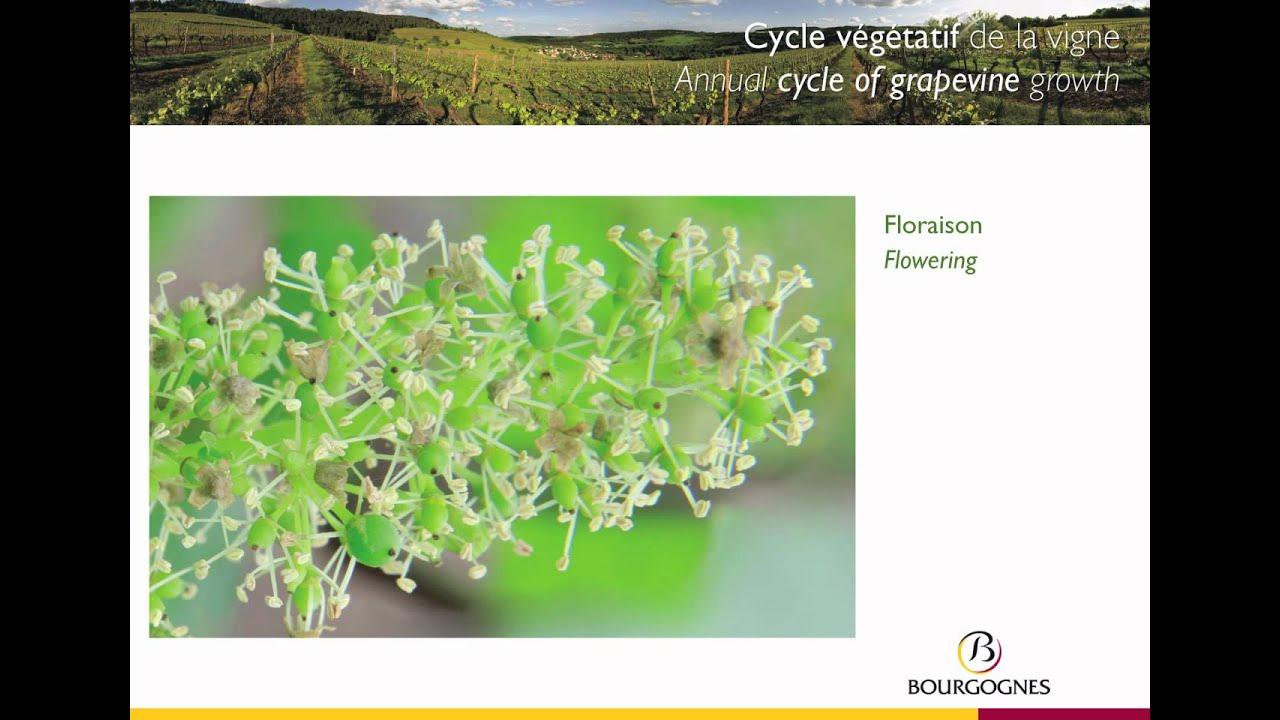 Le cycle végétatif de la vigne en Bourgogne / The growth cycle for vines in Burgundy