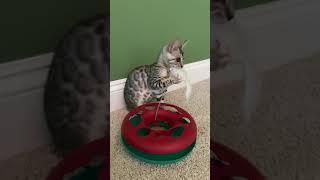 Khaleesi the Blue Bengal Kitten 1st Day Home (Part 1)
