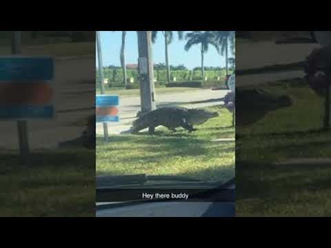 Огромный аллигатор выполз на дорогу