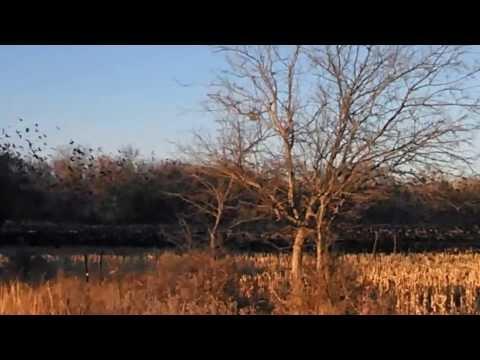 Red Wing Blackbirds in KS