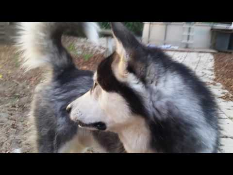 This is What Happens When you Pet Alaskan Malamute in November!!