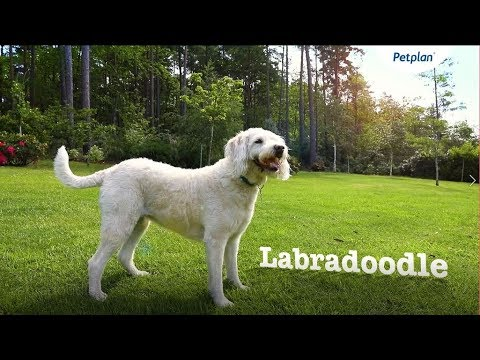Labradoodle Breed Information: Temperament, Lifespan & Facts | Petplan