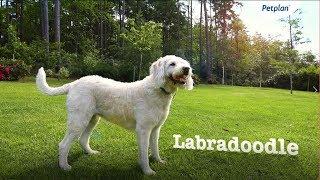 Labradoodle Breed Information: Temperament, Lifespan & Facts | Petplan
