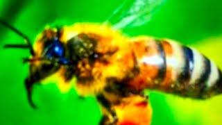 ПЧЕЛА !познавательное Видео) У пчеловодов. Качаем мёд.