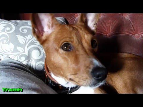 Tifo Basenji dog