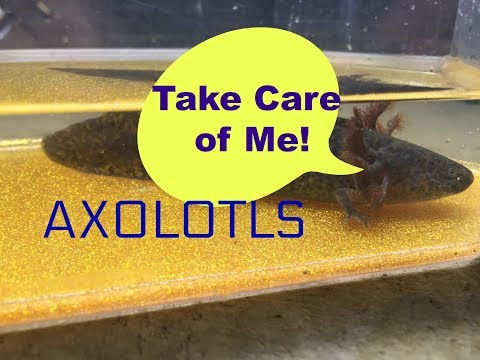 How to House/Care For Baby Axolotls