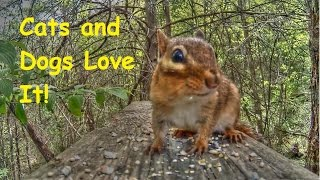 Entertainment Video For Cats and Dogs -  Chipmunk in Forest