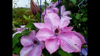 Clematis Earthquake - A showy flowering vine for sunny arbors, trellis & fences