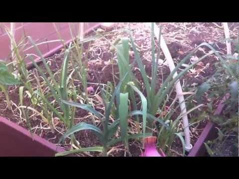 Harvesting Organic Onions & Garlic In My Las Vegas Raised Garden Beds